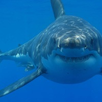Witte Haai Vogelvrij in West-Australië