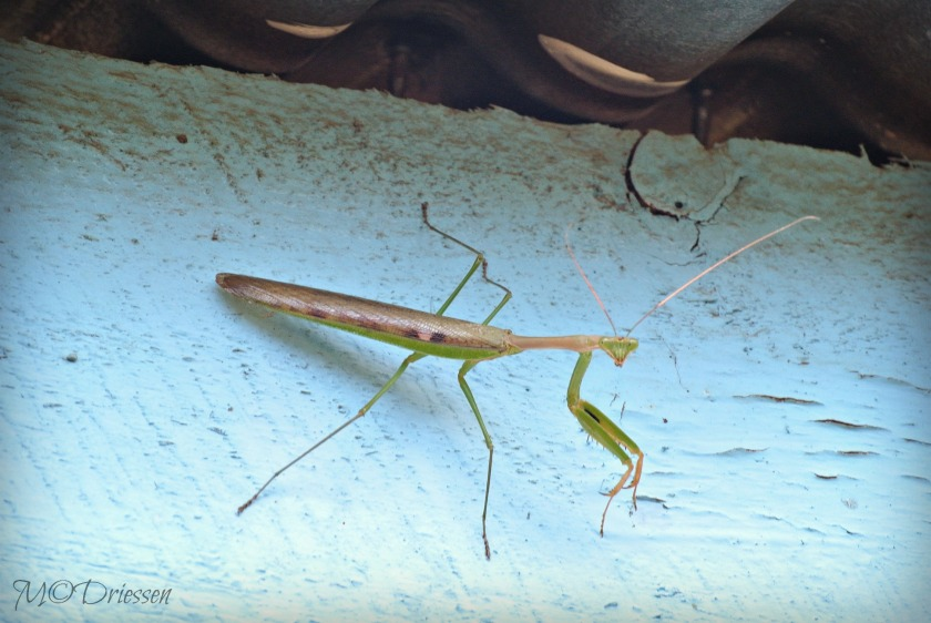 140512PrayingMantis