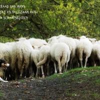 Door schapenogen