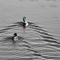 Wilde eenden in kalm water