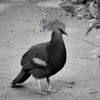 Bekroonde duif